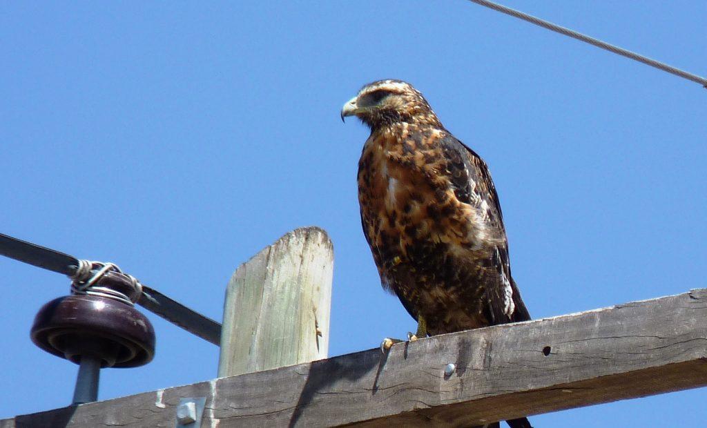 Ejemplar juvenil de águila mora.
